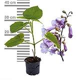 5 x Paulownia Blauglockenbaum TOMENTOSA