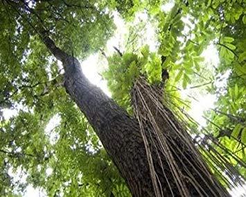 VISA STORE Amerikanisches Mahagoni, Honduras Mahagoni, 5 Samen