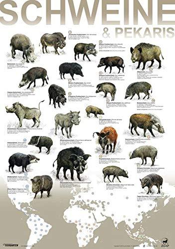 Plakat Schweine und Pekaris