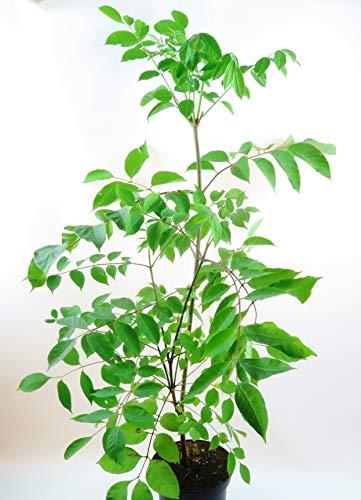 Bienenbaum, Tausendblütenstrauch, Euodia hupehensis