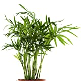 Seedeo Bambuspalme Chamaedorea seifrizii 20 Samen