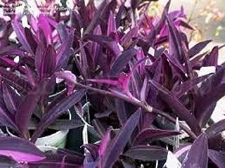 Best purple wandering jew flower Reviews