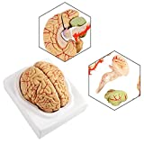 DEWIN Modelo anatómico del Cerebro de 8 Partes del tamaño de la Tapa, observación de Las arterias cerebrales anatómicas humanas con Base, Fuente de Estudio Educación científica de la Escuela