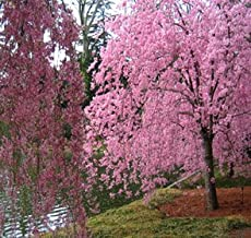 Japanese Weeping Cherry Tree 'Higan' - Live Plant Shipped 2 Feet Tall by DAS Farms (No Califronia)