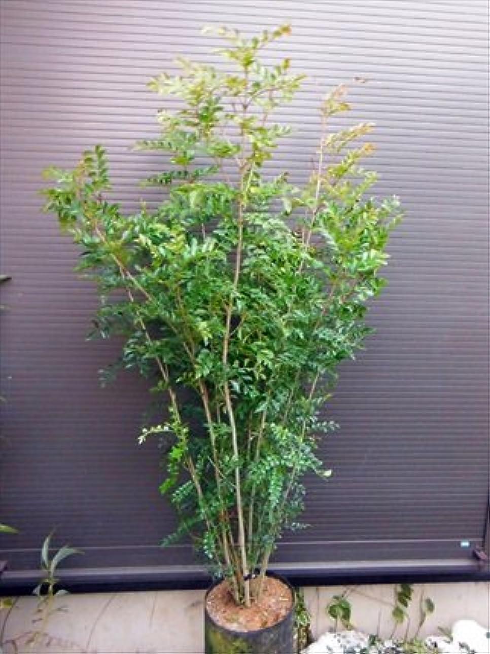 場所血まみれの手順シマトネリコ 7本以上の株立ち 全長210CM 常緑樹
