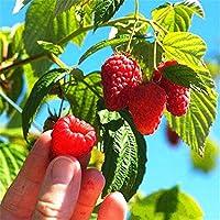 Free Venus 100 unids/bolsa de frambuesa roja semillas de frutas arándanos frambuesas Semillas