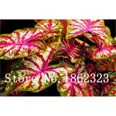 GEOPONICS SEEDS: Verkauf! 100 Stück Caladium Bonsai Caladium Blumen Bonsai Zimmerpflanzen Bonsai Colocasia Anlage für Hausgarten-Topfpflanze: 21