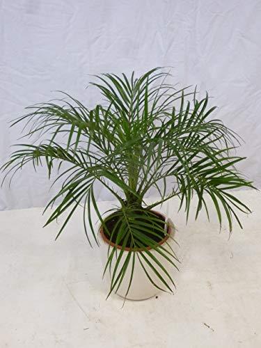 [Palmenlager] Phoenix roebelenii Zwergdattelpalme 60 cm/Stamm 10 cm/Zimmerpalme