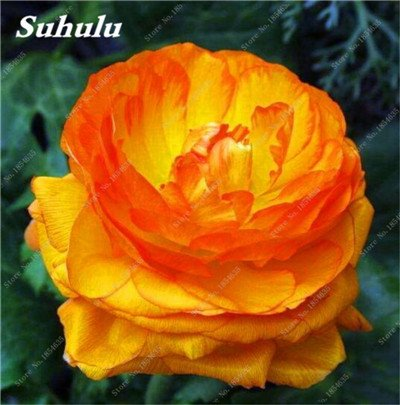 Nouveau! 10 Pcs Pivoine Graines Paeonia suffruticosa Andrews Mix Couleurs Indoor Bonsai fleur pour jardin des plantes Pivoine Graines de fleurs 4