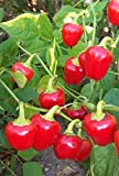Miniature Red Sweet Bell Pepper Seeds - Great for salads, stuffing or cooking!!(10 - Seeds)