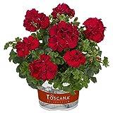 Pflanzen Kölle Geranie 'Medio Karolina Dark Red', 6er-Set, rot, Topf 13cm Ø