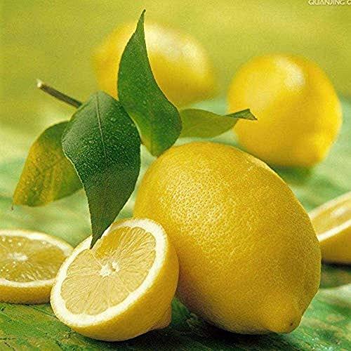 120Pcs Zitrone Samen Indoor und Outdoor Hohe-Qualität Heirloom Kalk Samen Einfach zu Überleben Mehrjährige Obst Bäume Geeignet für Anfänger Gartenarbeit Erfahrung