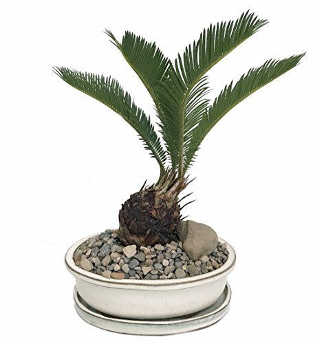 Sago Palm Bonsai in Bonsai Dish/Saucer/Pebbles/Stone -Easy to Grow- 8' x 6' x 3'