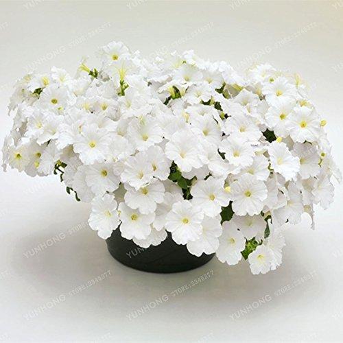 Escalade Pétunia Graines de fleurs Jardin Bonsai Balcon Petunia hybrida semences de fleurs de 20 espèces végétales Bonsai facile à cultiver 100 Pcs 17