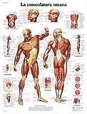 3B Scientific VR4118UU la Muscolatura Umana