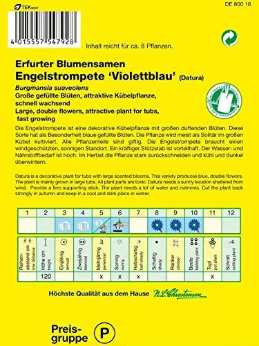 Engelstrompete Violettblau (Port. inkl. Stecketikett)