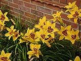 Hemerocallis Bonanza - Day Lily, Plant in 9 cm Pots