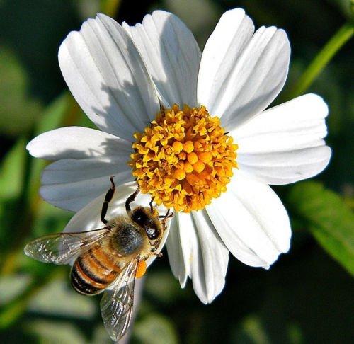 Spanisch Needles Bidens Pilosa ROMERILLO HEIL Schmetterlinge Garten 200 Samen