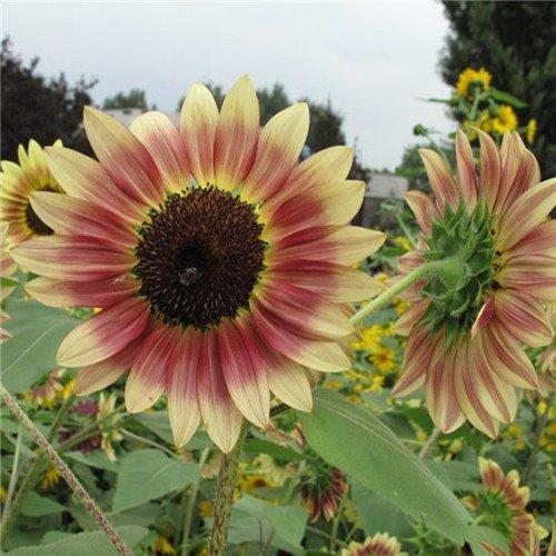 20 pcs/sac de graines de tournesol, graines de tournesol pour la plantation des graines de fleurs bonsaï croissance naturel pour le jardin de la maison Plantin 3