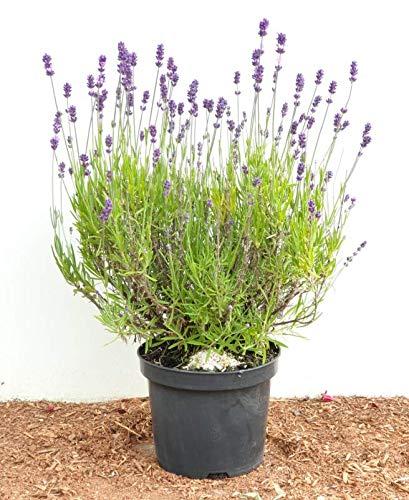 Violettblühender Lavendel Lavandula angustifolia im 2-3L Topf gewachsen