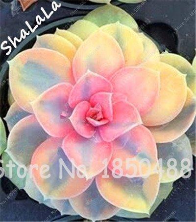 100 Samen für Pflanzen, Gewächshaus, Kaktus, seltene Sukkulente, mehrjährige Kräuterpflanzen, Bonsai-Topf, Blumensamen, Zimmerpflanze, absorbiert Formaldehyd 12