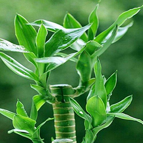 graines Lucky Bamboo, balcon en pot, la plantation est simple, le taux de bourgeonnement de 95%, l'absorption de rayonnement, couleurs mélangées - 20pcs / lot