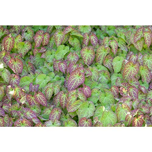 Epimedium x perralchicum 'Frohnleiten' - Frohnleiten-Garten-Elfenblume 'Frohnleiten' - 9cm Topf