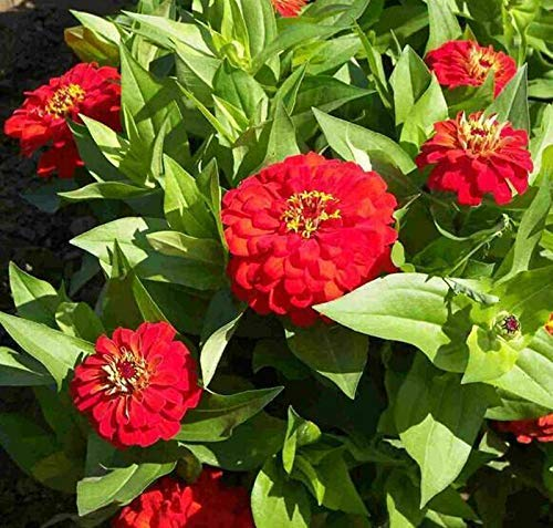 Red Zinnia Elegans 50+ Cherry Queen Red Scarlet Flame Zinnia Seeds Adición fantástica a su hogar Jardín de flores