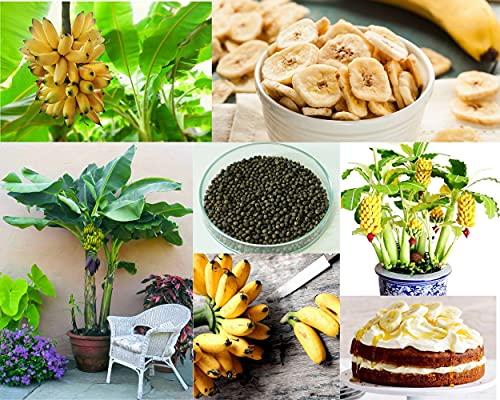 Banana Seeds for Planting - 3000+ Seeds - Dwarf Banana Bonsai Tree Seeds