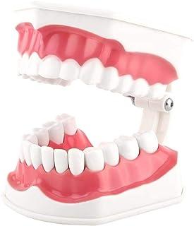 Akozon 歯科模型28歯ティーチング歯ブラッシング研究デモンストレーション歯科ツール