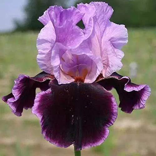 Purple Iris Bulbs-10 Bulbs-Blooms Twice in One Year Beautiful Fragrant Flowers Bonsai Great for Rock Garden Decoration