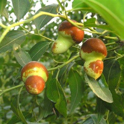 10 graines / paquet, rouge graines de jujube en Chine, santé douce vent de réseau professionnel plantation d'arbres fruitiers