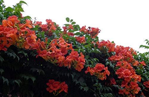 QHYDZ Samenhaus- 10pcs Saatgut Kletterpflanzen Campsis radicans, Blumensamen Tecoma Bignonia Radicans Mehrjähriger für Portale, Häuser und Wände dekorieren