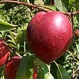 Nectarina árbol - Maceta 26cm. - Altura aprox. 1'20m. - Pla