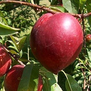 comprar comparacion Nectarina árbol - Maceta 26cm. - Altura aprox. 1'20m. - Planta viva - (Envíos sólo a Península)