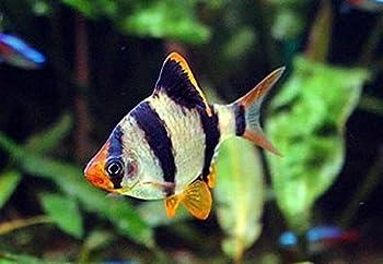 Aquarium Plants Discounts Pair of Tiger Barbs 1-1.5 Inches - Freshwater Live Tropical Fish