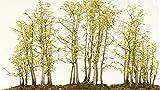 Redwood Bonsai Tree Seeds - 25 Seeds - Ships from USA - Sequoia Bonsai Seeds