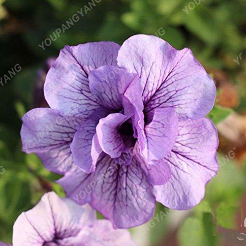 200pcs Bonsai Pétales de fleurs de pétunia couleurs mélangées Double Petunia Hybrid Seeds avec le pack professionnel Une décoration pour la maison Jardin Bourgogne