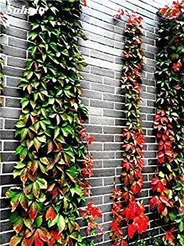 VISTARIC mixte: Mix Boston Seeds 100% vrai Parthenocissus tricuspidata semences Plantes d'extérieur QUASIMENT soins décoratifs Escalade usine 100 Pcs