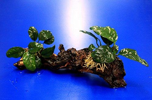 WFW wasserflora 2 x Kaffeeblättriges Speerblatt auf schöner Mopani-Wurzel/Anubias coffeefolia