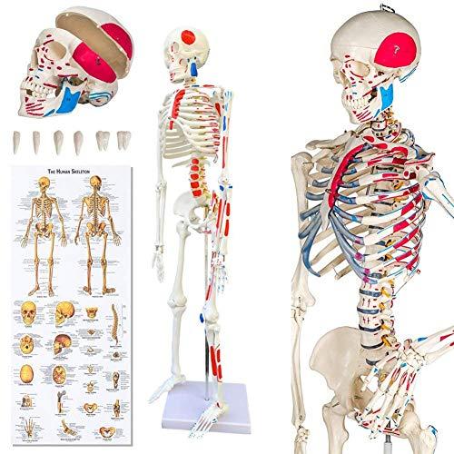 BAOFUR Menschliches Skelettmodell Skelett Modell mit Muskelbemalung Skelett Herz und Blutgefäß Modell Skelett Modell für Unterrichten Verwendet Medizinschule