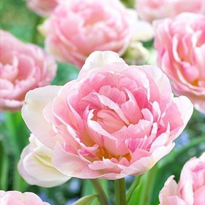20 Angelique Tulip Bulbs-- Double Late, New!!