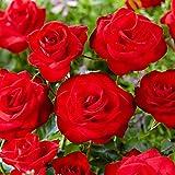 Rosa'Santana' | Kletterrosen winterhart mehrjährig duftend | Rote Rosen Pflanzen | Höhe ca. 40cm