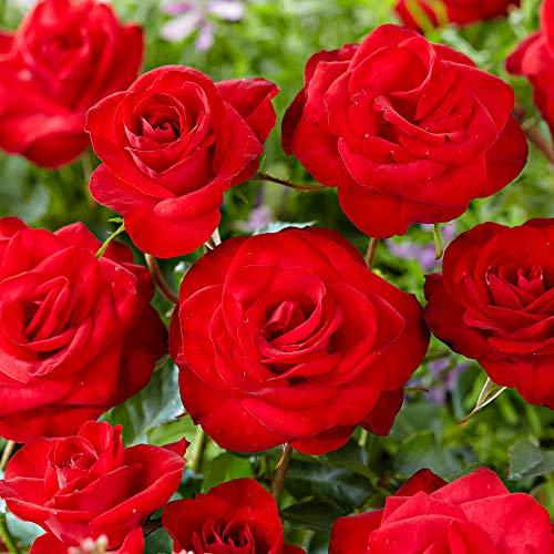 Rosa Santana |Rosa rampicante |Pianta rampicante con fiore rosso |Altezza di consegna ca.40 centimetri