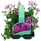 6 x Large Garden Ready Plants Bedding Pack – Each Plant is The Same Size As Grown in A 10.5cm Pot. Colours for Containers, Baskets, Patios, Beds. Doorstep Plants Geranium Zonal Red