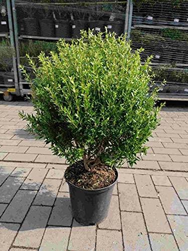 Myrtus Busch 60-80 cm Myrtus communis -...