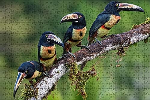 LHJOY Puzzle 500 Piezas paisajes Animal Ave Tucán Collared Aracari Rama Cuatro Regalo de cumpleaños 52x38cm