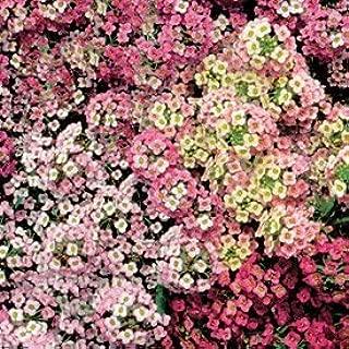 1000 Sweet ALYSSUM PASTEL CARPET MIX Lobularia Maritima Flower Seeds~Palace of the sun
