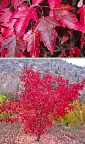 New color Somarac - Flame Amur Maple Acer Fall unisex ginnala 30 C Seeds