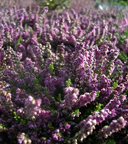 Calluna vulgaris Mullion - Sommerheide Mullion - Besenheide - Stückzahl Rabatt 5er-Paket